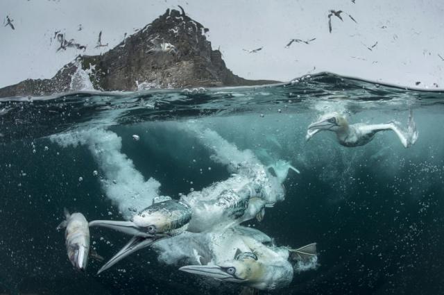 'Kuşların Davranışları' kategorisinde birinci seçilen İngiliz yarışmacı Richard Shucksmith'in fotoğrafı