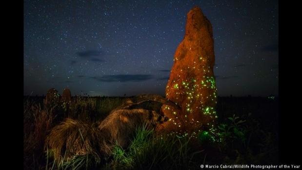 Parıldayan binlerce ateş böceği Brazilya/Savana'da yıldızlı bir geceyi aydınlatıyor. Fotoğrafı Emas Ulusal Parkı'nda çeken Marcio Cabral'in karesinde, yağmur sonrası bir termit tepeciğine tırmanan minik ateş böcekleri görülüyor.