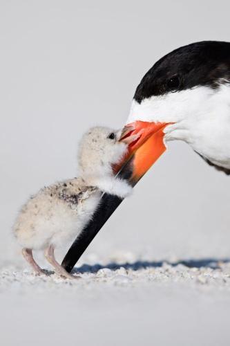 Yarışmanın 'Kuşların Davranışları' kategorisinde üçüncü seçilen ABD'li yarışmacı Thomas Chadwick'in çalışması