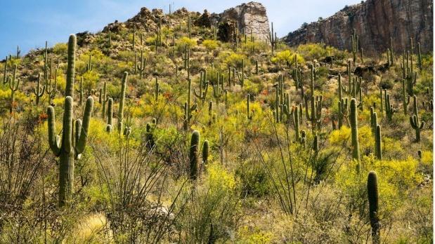 """Arizona - Tucson çölleri  ABD'nin bir çok kurak alanı bulunan Arizona eyaletindeki Tucson şehri yakınlarındaki çöller Gates Pass ve Tucson Dağları Parkı, dönem dönem baharı getiriyor. Bu yılın Ağustos ayı ise, uzmanları şaşırttı. Arizona-Sonora Çöl Müzesi'nin emekli başkanı ve yabani çiçekler uzmanı Mark Dimmitt, """"Sanırım 1979 yılından bu yana bu kadar yaz rengini sadece üç kez gördüm"""" dedi. """"1980'li yıllardaki hava koşullarını gördük"""" diyen Dimmitt, yaz aylarında neredeyse her öğlen fırtına ve yağmur görüldüğünü söyledi."""