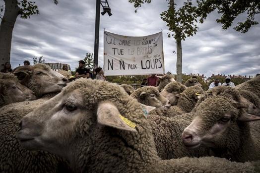 Fransız çiftçilerin, kurt saldırılarını protesto etmek için yanlarında getirdiği koyunlar, öğleden sonra şehrin en işlek caddelerinden birini işgal etti.
