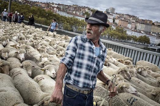 Fransa'da rokfor peynirinin üretildiği Aveyron bölgesindeki koyunlar, otlanmak için serbestçe gezebiliyor.