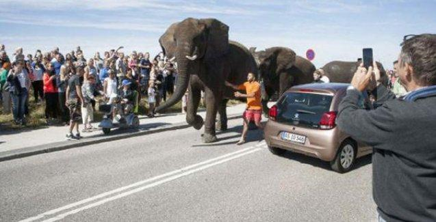 'Kırbaçlanan' filler sirkten kaçtı