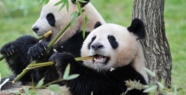 'Uykucu pandalar'ın sırrı çözüldü
