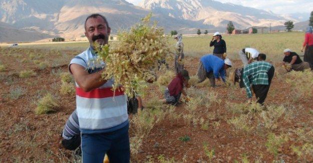 Komünist başkan Ovacık'ta hasada başladı