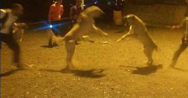 Erzurum'da köpek dövüşüne soruşturma
