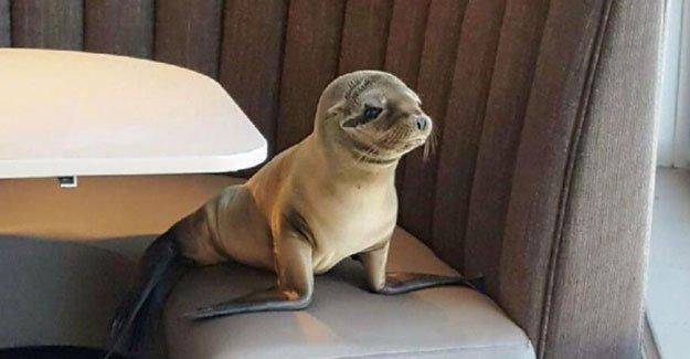 Aç denizaslanı yavrusu restoran bastı
