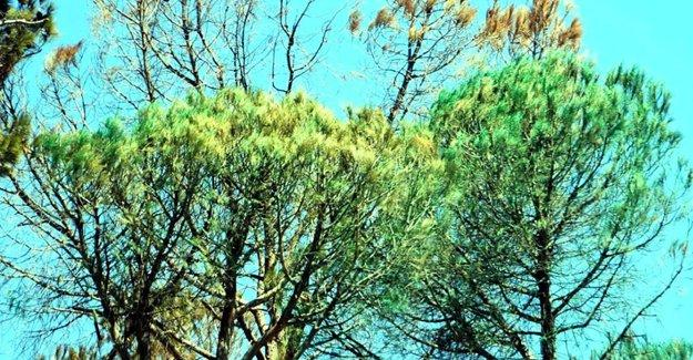 Bodrum'da inşaat şirketi, kuruyan ağaçları sprey boyayla 'yeşertmiş'