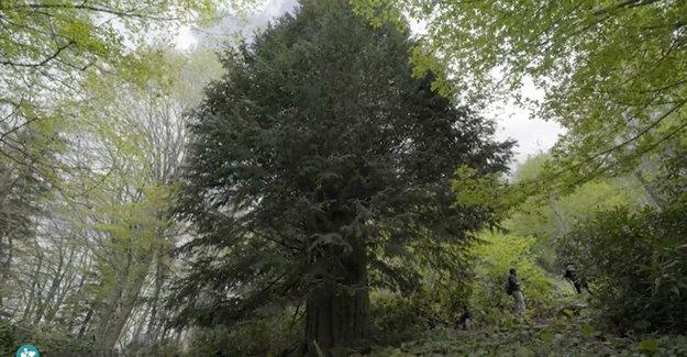Zonguldak'ta Bronz Çağı'nda filizlenmiş ağaç bulundu: 4112 yaşında