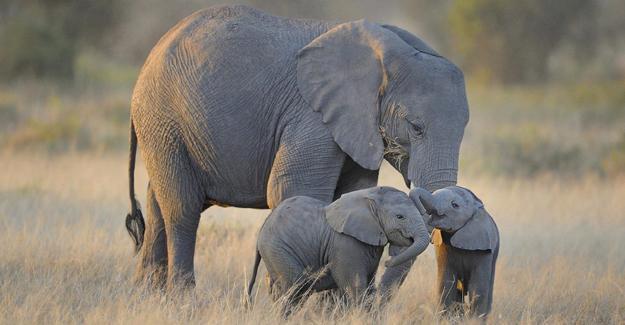 Afrika'da fil nüfusu 111 bin azaldı