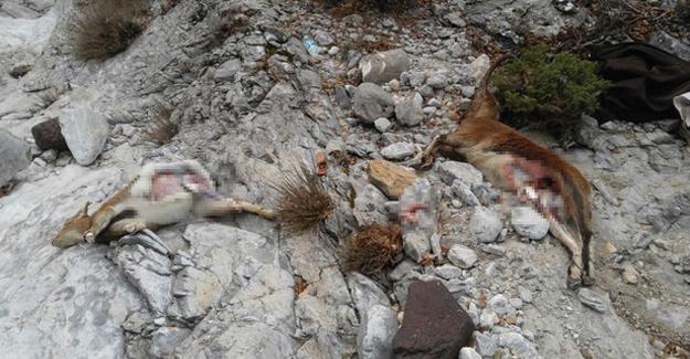 2 dağ keçisini katleden avcılara 48 bin TL ceza kesildi