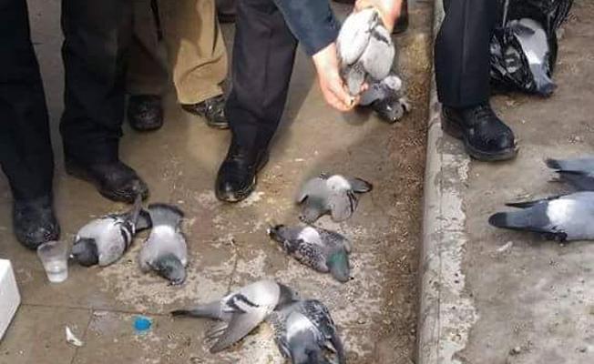 Güvercinleri zehirli yemle katlettiler