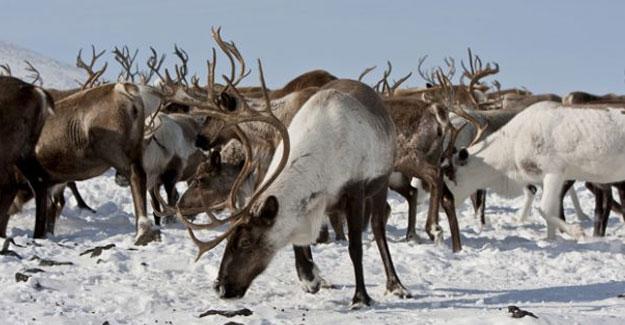 Kuzey Kutbu'ndaki olağanüstü ısınma Ren geyiklerini öldürüyor
