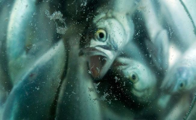 """""""Kimse Lüfer balığı tarafından bakmıyor"""""""