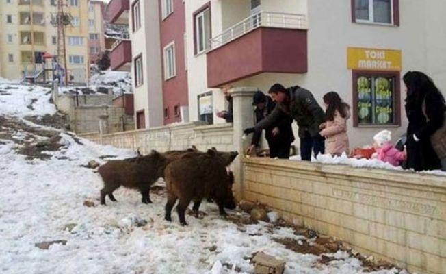 Dersim'de vatandaşlar, şehre inen yaban domuzlarını besledi