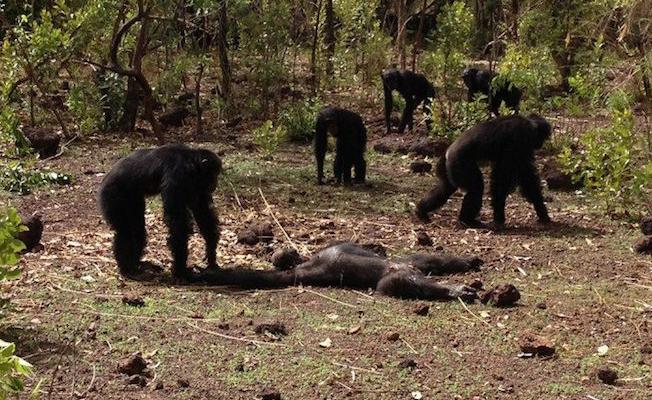 Şempanzeler eski diktatörlerini öldürdü