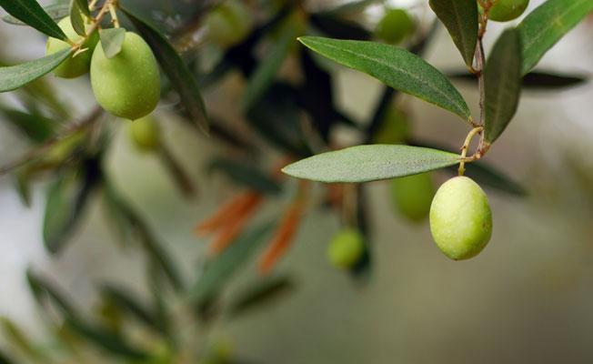 Zeytinliklere Danıştay 'zırhı': Tesis yapamaz ve işletemezsiniz