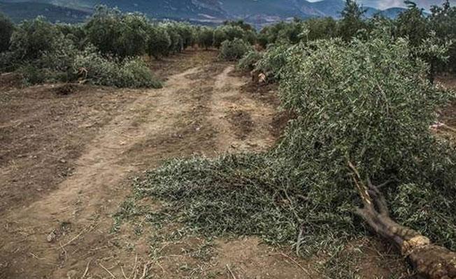 Torba tasarı Meclis'te: Zeytinlikler sanayiye açılacak