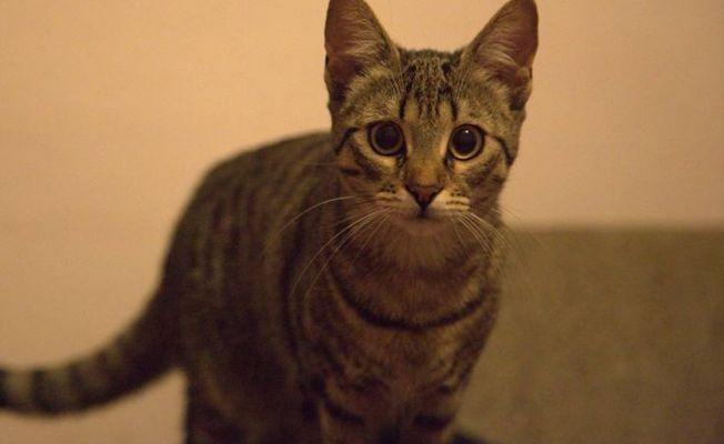 Antik DNA'ya göre kediler evcilleşmeye kendileri karar verdi