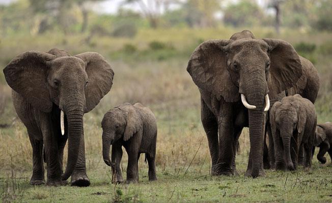 En büyük ve en küçük hayvanların soyları daha hızlı tükeniyor