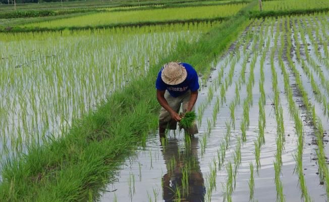 Avrupalılar gelmeden önce Amerika'da pirinç yetiştiriliyordu