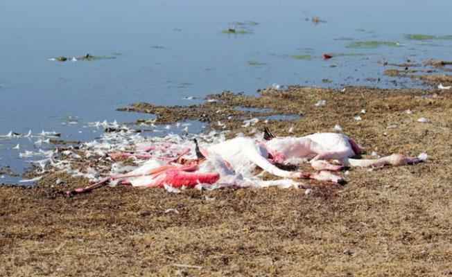 Akgöl Sazlığı'nda flamingoları tüfekle vurup, boğazlarını kestiler