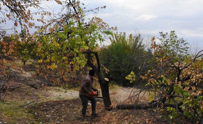Malatya'da kayısı para etmeyince üreticiler ağaçları kesti