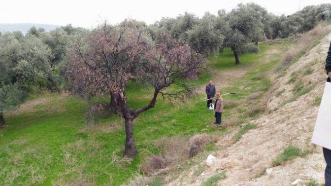Fabrika atıkları asırlık zeytin ağaçlarını kuruttu