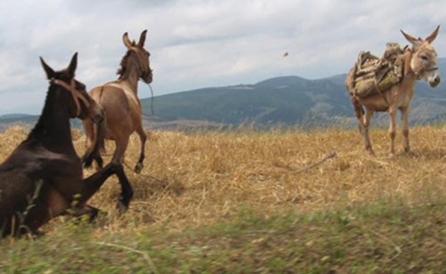 Son 10 yılda at, eşek ve katır sayıları neredeyse yüzde 50 azaldı