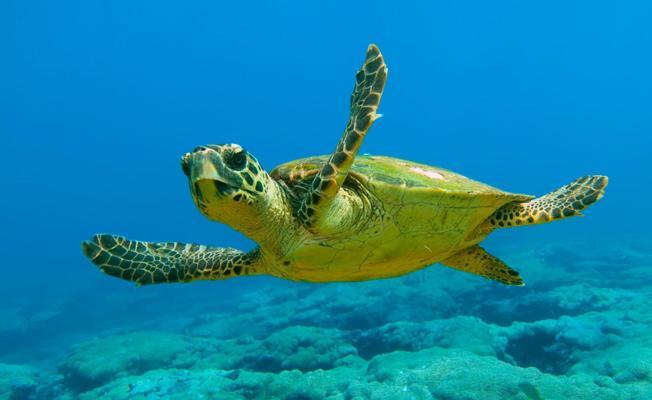 Küresel ısınma, yeşil deniz kaplumbağası yavrularının yüzde 99'unun dişi olmasına neden oldu