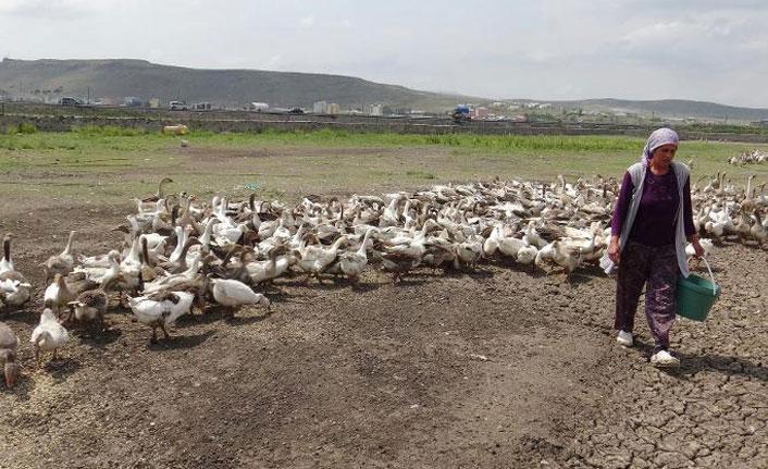 Kars'ta kaz ölümleri yeniden başladı
