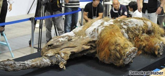 39 bin yıllık bebek mamut bulundu