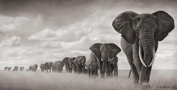 Afrika'da filler ölüm kalım savaşı veriyor