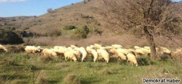 AKP'li Vekil: Koyunlar asla nankörlük etmez