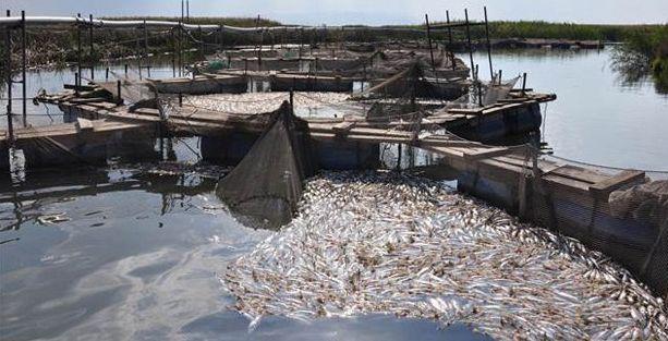Alabalık çiftliğinde kirlilik balıkları vurdu