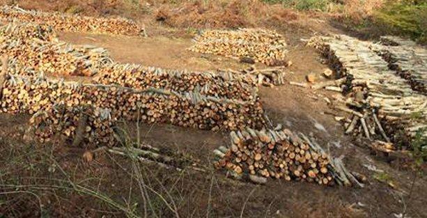 Amasra'da termik santral projesi için ağaç katliamı başladı