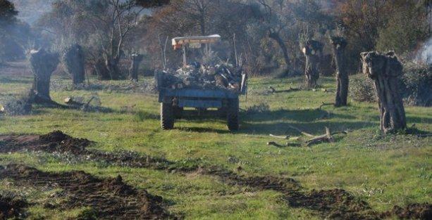 Aydın'da asırlık zeytin ağaçlarını katlettiler!