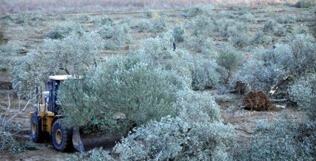 Binlerce ağacı hukuksuzca kesen Kolin, Yırca'ya termik santralde ısrarlı