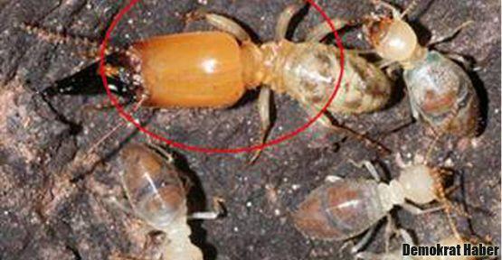 Böcek aleminin intihar bombacıları