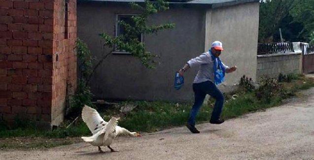 Bolu'da oy isteyen AKP'lileri kazlar kovaladı