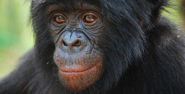 Bonobolar fedakarlığın kökenlerini anlamamızı sağlayabilir!
