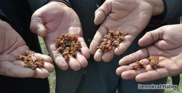 Buğday, kayısı ve fındıkta alarm