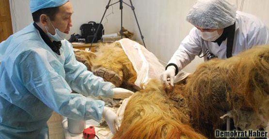 Canlı mamut hücresi bulundu