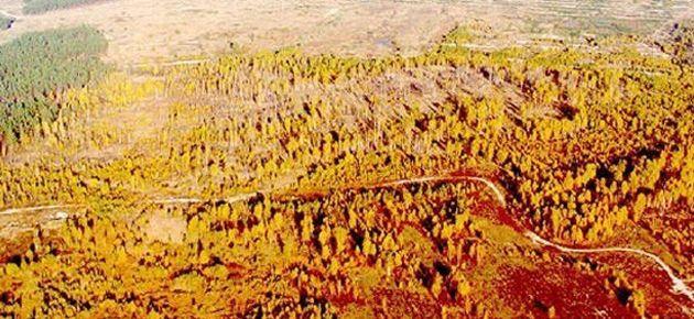 Çernobil'in yaşandığı bölgede ağaçlar çürüyemiyor
