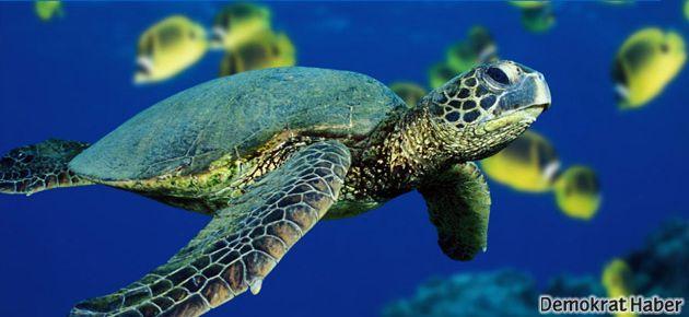 Deniz kaplumbağaları hızla yok oluyor