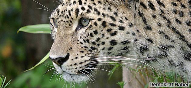 Diyarbakır'da leopar öldürüldü