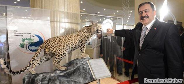 Diyarbakır'da öldürülen leopar Ankara'da sergileniyor