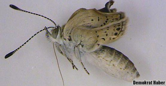 Fukuşima, kelebekleri mutasyona uğrattı