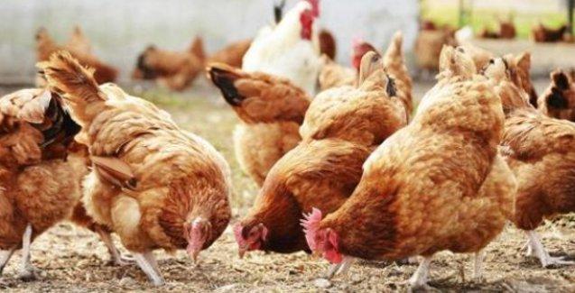 Gebze'de 10 bin tavuk gece yarısı kuş gribi nedeniyle itlaf edildi