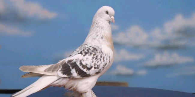IŞİD, 'kuşların cinsel organı görünüyor' gerekçesiyle kuşçuluğu yasakladı